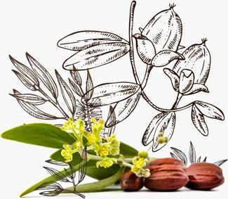 Graphic illustration of Jojoba seeds